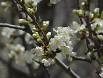 一个李子分支的特写镜头与许多白色开花和芽的 免版税库存图片