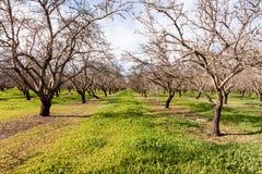 一个杏仁树丛在春天 库存图片