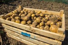 一个条板箱土豆从地球新近地开掘了 免版税库存图片