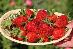 一个杯子用成熟草莓,采从庭院 图库摄影