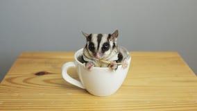一个杯子sugarglider 免版税库存图片