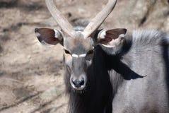 一个林羚大型装配架的华美的面孔有一张甜面孔的 库存图片