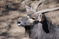 一个林羚大型装配架的外形有一张甜面孔的 图库摄影