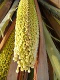 一个枣椰子的细节在开花的 库存照片