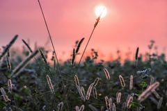 一个柔和的桃红色早晨在草甸 免版税图库摄影