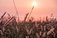 一个柔和的桃红色早晨在草甸 库存图片