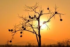 一个柿树的剪影在金黄日落下的 库存图片