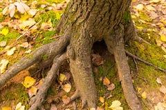 一个树干的厚实的根反对用青苔和下落的叶子报道的地球背景的 库存图片