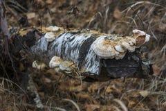 一个树干的片断与的木蘑菇 免版税库存图片