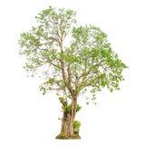 一个树形状和树枝在白色背景孤立的背景 免版税库存照片