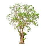 一个树形状和树枝在白色背景孤立的背景 库存图片