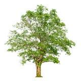 一个树形状和树枝在白色背景孤立的背景 免版税库存图片