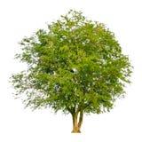 一个树形状和树枝在白色背景孤立的背景 库存照片