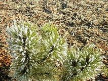 一个树枝的弗罗斯特在冬天 库存图片