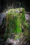一个树桩的特写镜头与绿色青苔的在有阳光的森林里 库存图片
