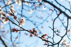 一个桃子的开花的分支在一个清楚的晴天 免版税图库摄影