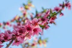 一个桃子的开花的分支在蓝天的 库存图片