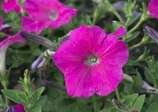 一个桃红色喇叭花瓣的特写镜头视图 免版税库存图片
