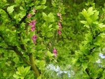 一个桃红色毛地黄属植物, 库存照片