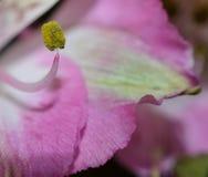 一个桃红色花雄芯花蕊的宏观照片 免版税库存照片