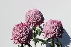 一个桃红色菊花花宏观宽框架 库存照片