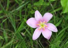 一个桃红色雨百合的浮动花药 免版税图库摄影