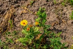 一个桔子tagetes在庭院里 库存照片