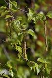 一个桦树的分支在春天。 库存图片