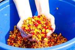一个桶煮沸的色的玉米 免版税库存照片