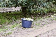 一个桶用苹果在庭院里 苹果苹果分行结果实叶子果树园 荡桨结构树 库存图片