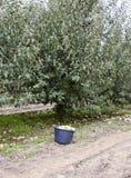 一个桶用苹果在庭院里 苹果苹果分行结果实叶子果树园 荡桨结构树 免版税图库摄影