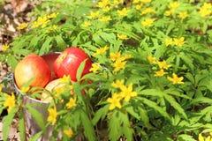 一个桶红色果子用成熟苹果和梨在bloomin中 免版税库存照片