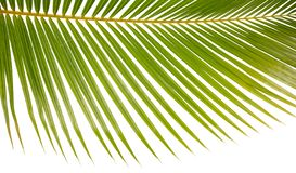 一个棕榈树叶状体的特写镜头背景在白色的 库存图片