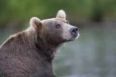 一个棕熊特写镜头的画象 库存图片