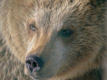 一个棕熊头的特写镜头在动物园里 库存照片