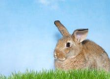 一个棕色兔宝宝的外形在草蹲下了有蓝色背景 库存图片