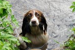 一个棕色和白色英国斯伯林格西班牙猎狗传说在罐头的游泳 库存照片