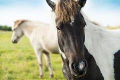 一个棕色和白马的头在一个领域的与另一匹马 免版税库存照片