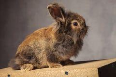 一个棕色狮子头兔子兔宝宝的侧视图 免版税库存图片