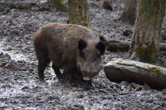 一个棕色野公猪的特写镜头 免版税库存照片