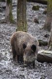 一个棕色野公猪的特写镜头 库存照片