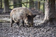 一个棕色野公猪的特写镜头 免版税库存图片