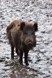 一个棕色野公猪的特写镜头 免版税图库摄影