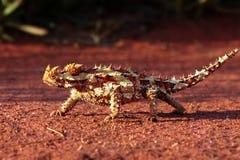 一个棘手的恶魔在澳洲内地 库存照片