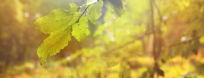 一个森林的全景有秋叶的在背景中 库存照片