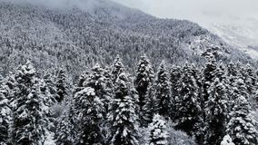 一个森林的鸟瞰图在一冬天阴天 云杉的美好的冬天在雪的本质和杉木 低飞行 股票录像