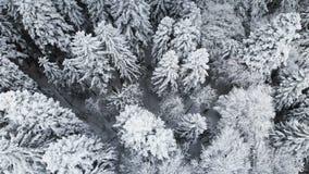 一个森林的鸟瞰图在一冬天阴天 云杉的美好的冬天在雪的本质和杉木 在的飞行 股票录像