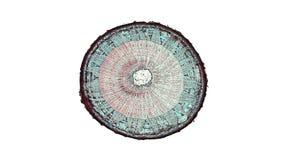 一个植物词根的横断面裁减在显微镜下 免版税图库摄影