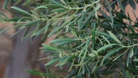 一个橄榄树分支的片段 股票视频