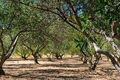 一个橄榄色的果树园或树丛的看法在力海岛上在克罗地亚 库存图片